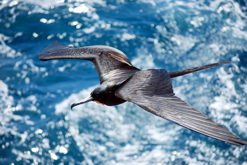 Frigatebirds have to find ways to stay aloft because they can't land on the water. This bird was flying between the Galapagos islands of Santiago and Bartolome. Harvey Barrison/Flickr